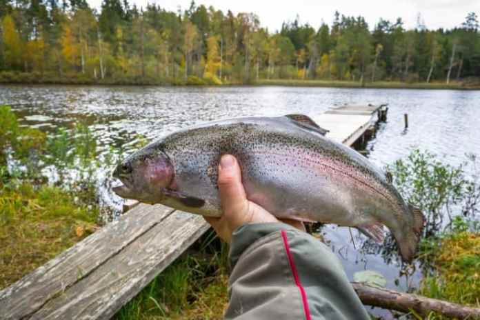 How Long do Stocked Trout Live