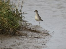 IMG_6327 grey plover