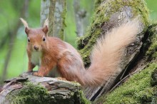 IMG_2089 Red squirell