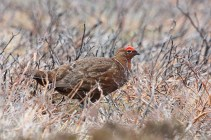 IMG_2193 Red grouse