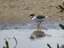 IMG_2342 L R Plover