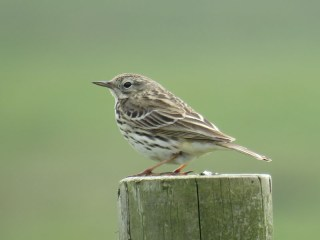 IMG_2513 Meadow pipit