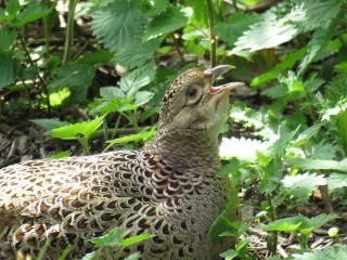 IMG_3293 pheasant f
