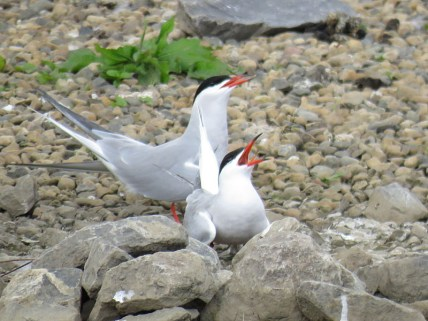 IMG_3385 Common terns