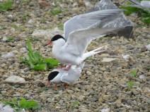 IMG_3389 Common terns