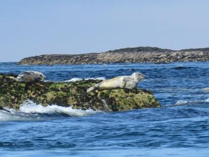 IMG_3556 Grey seal