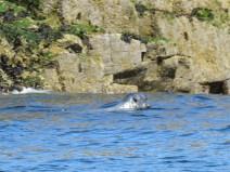 IMG_3559 Grey seal