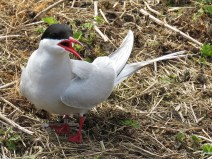 IMG_3585 Arctic terns