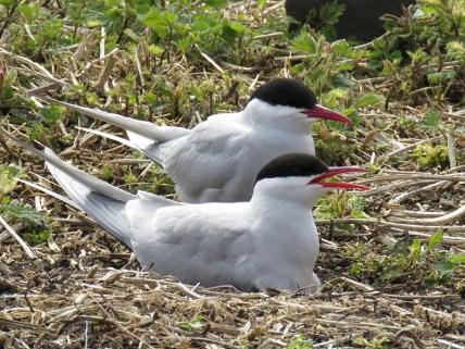 IMG_3589 Arctic tern