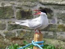 IMG_3590 Arctic tern