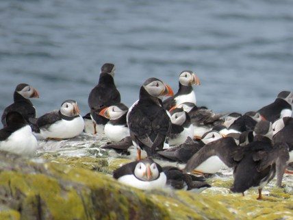 IMG_3593 Puffins