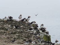 IMG_3646 Puffins