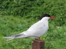 IMG_3717 Arctic tern