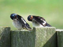 IMG_3858 swallows