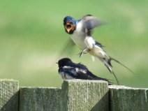 IMG_3867 swallows