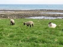 IMG_3919 sheep