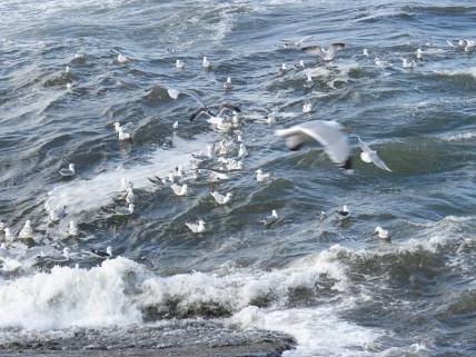 IMG_3977 gulls