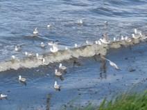 IMG_3998 gulls