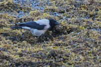 IMG_2649 hooded crow