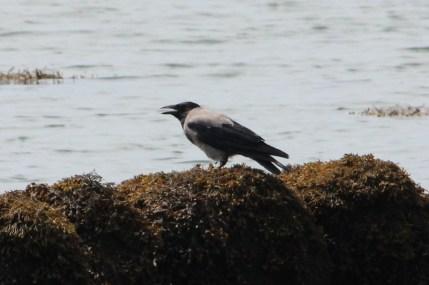 IMG_2949 hooded crow