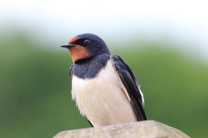 IMG_3036 Swallow