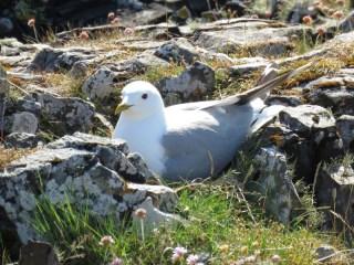 IMG_5708 common gull on nest