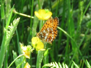 IMG_5739 small pearled-bordered fritillary