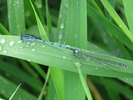 IMG_5869 azure blue damselfly m & F
