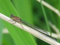 IMG_5870 blue tailed damselfly female