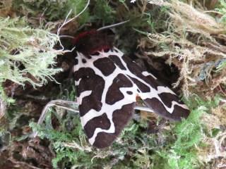 IMG_5888 garden tiger moth