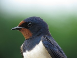 IMG_5947 Swallow