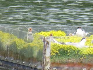 IMG_6025 Common tern nest site