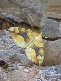 Barred yellow