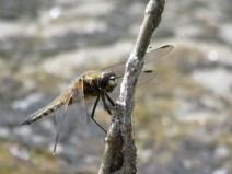 IMG_6594 Black-tailed skimmer female