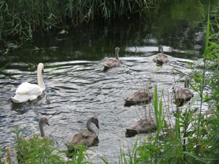 IMG_6617 swans