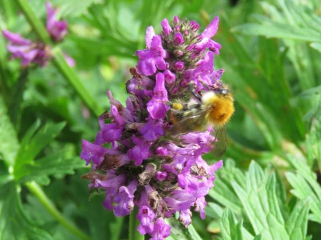 IMG_7597 Sizergh castle gardens bee