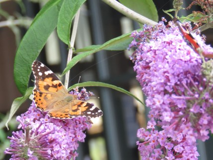 IMG_7942 painted lady