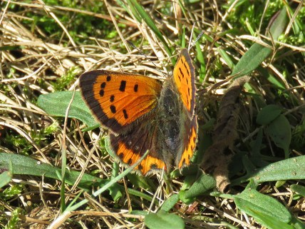 img_0135-small-copper