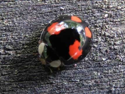 IMG_8937 Harlequin ladybird_edited-1