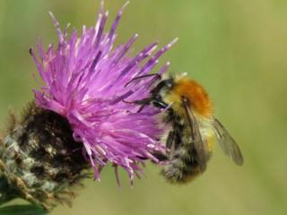IMG_8952 Bee