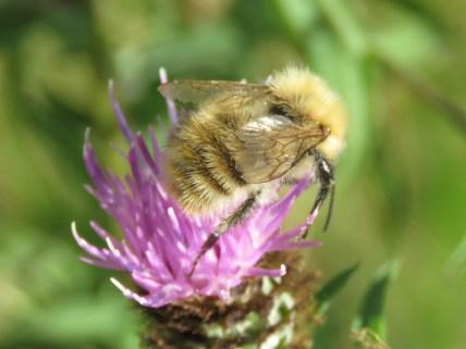 IMG_8987 Bee