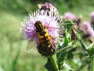 img_9296-hoverfly