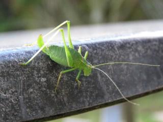 img_9374-speckled-bush-cricket