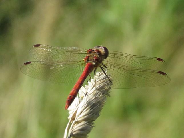 img_9463-dragonfly