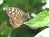 img_9535-speckled-wood
