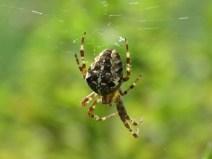 img_9542-garden-spider