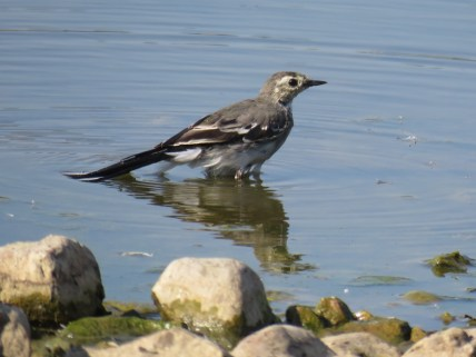 img_9739-jeuv-pied-wagtail