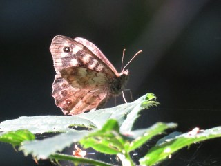 img_9774-speckled-wood