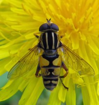 img_9831-hoverfly_edited-1