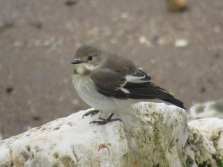 img_0946-pied-fly